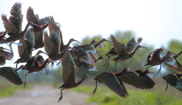 White-Faced Ibis Crossing