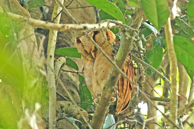Oriental Bay Owl - Phodilus badius