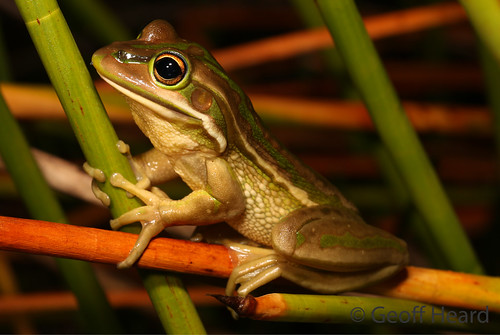 Green and Golden Bell Frog (Litoria aurea) | by Geoff Heard