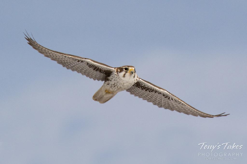 A Prairie Falcon flies head on toward the photographer in Adams County, Colorado. (© Tony's Takes)