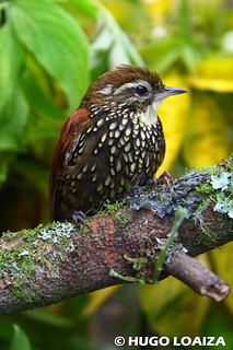 Margarornis squamiger - Pearled Treerunner | by hugo.loaiza