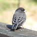Junco by jumahl