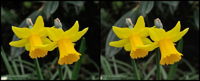Two daffodils - 3d cross-view