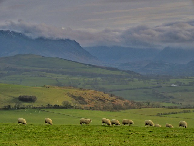 More sheep on The Hay