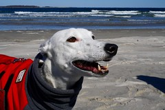 Greyhound Adventures at Crane Beach, Ipswich MA, March 20th 2016