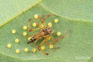 Jumping spider (Parabathippus sp.) - DSC_6887