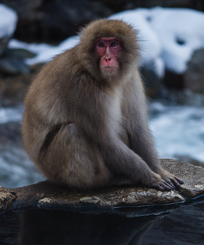 Monkeying Around at Snow Monkey Park | by LimpingFrog Productions