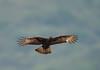 Long-crested Eagle, Lophaetus occipitalis, Chimanimani, Zimbabwe by Jeremy Smith Photography