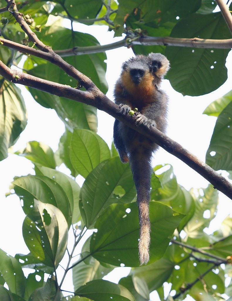 Red-bellied titi/Zogue-zogue (Callicebus moloch)