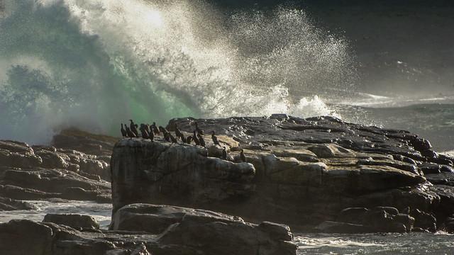 Cormorants Contemplating Take Off