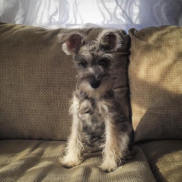 Ok. Here she is. Good dog! // #missytheschnauzer #aksarbenliving #schnauzersofinstagram #schnauzerlife #puppygram