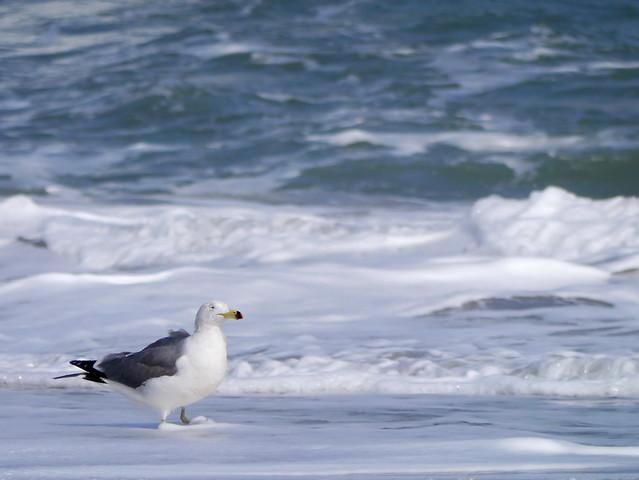 海鷗 Seagull