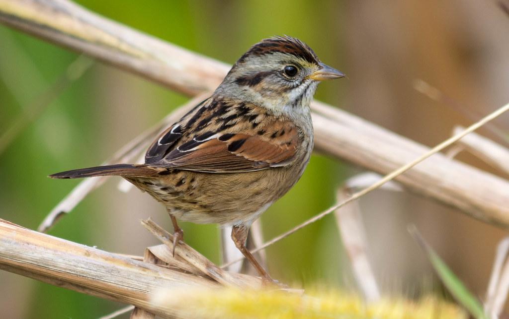 常見鳥類沼澤帶鵐。照片來源:John Sutton(CC BY-NC-ND 2.0)