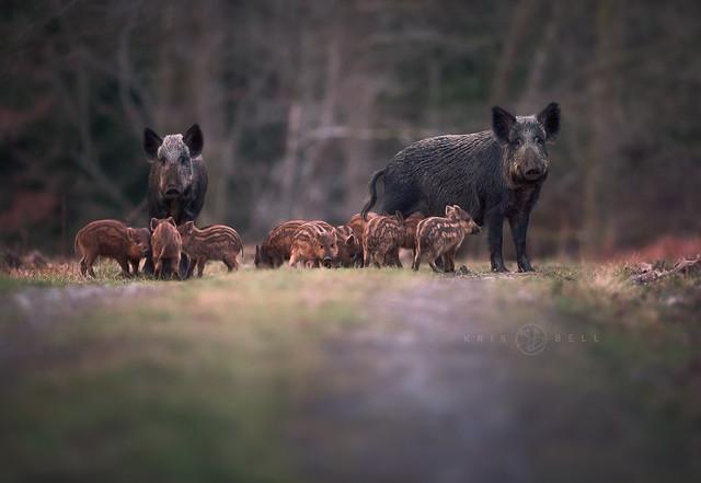 Wild Boars (Sus scrofa)