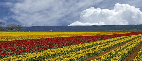 provence tulipe marymaa