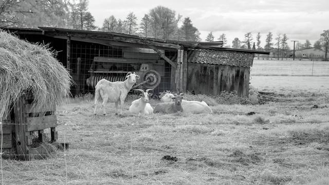 Infrared Goats