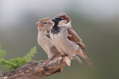 House Sparrow - Photo (c) Ximo Galarza, some rights reserved (CC BY-NC-SA)