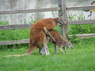 Zoo Porn | She just got the joey out of the pouch, and she's… | Flickr