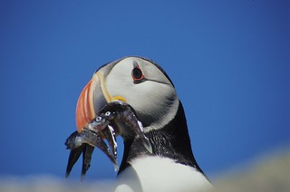 Puffin with his catch of the day