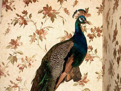 peacock 004