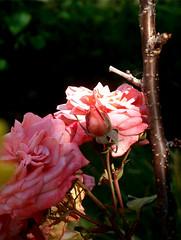roses, 22 juin 2005