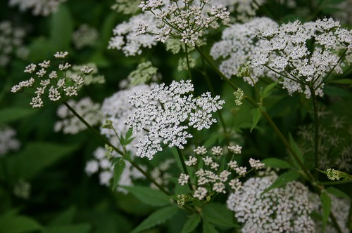 Yarrow II | by tillwe