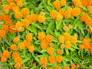 Butterfly weed full bloom | by Martin LaBar