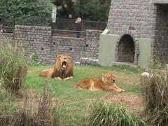 Zoo - 11 - Lions