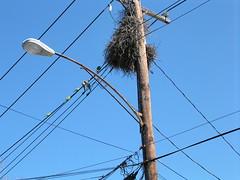 Monk parakeet nest 2, 4.05