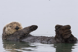 sea-otter-morro-bay_07 | by mikebaird