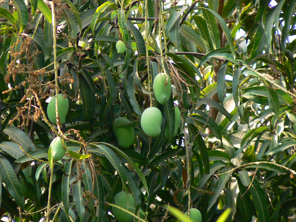 Mango | Aam (Hindi: आम) is the National Fruit of India