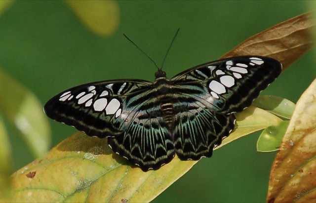 Malaysian blue Clipper/Parthenos sylvia lilacinus, Danum Valley