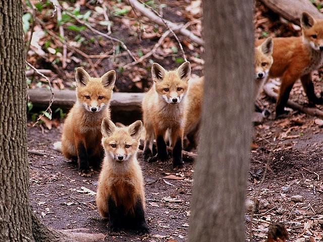 foxpups at den (explored)