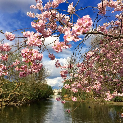 St James's Park Cherry Blossom 2016 | by Fran Pickering