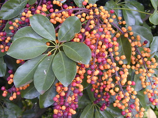 starr-020108-0009-Schefflera_arboricola-leaves_and_fruit-Makawao_Kee_Rd-Maui | by Starr Environmental
