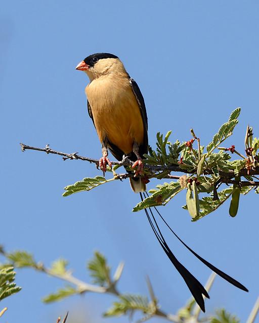 Viúva-seta // Shaft-tailed Whydah