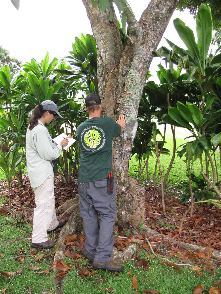 starr-120606-6852-Carapa_guianensis-bark_with_Kim_and_Ian-Kahanu_Garden_NTBG_Hana-Maui
