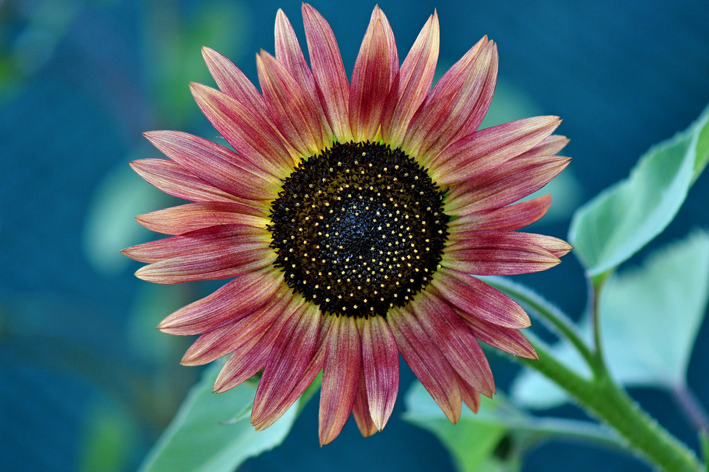 Sunflower Strawberry blonde hybrid