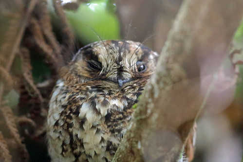 Mountain Owlet-Nightjar, Mokwam, West Papua