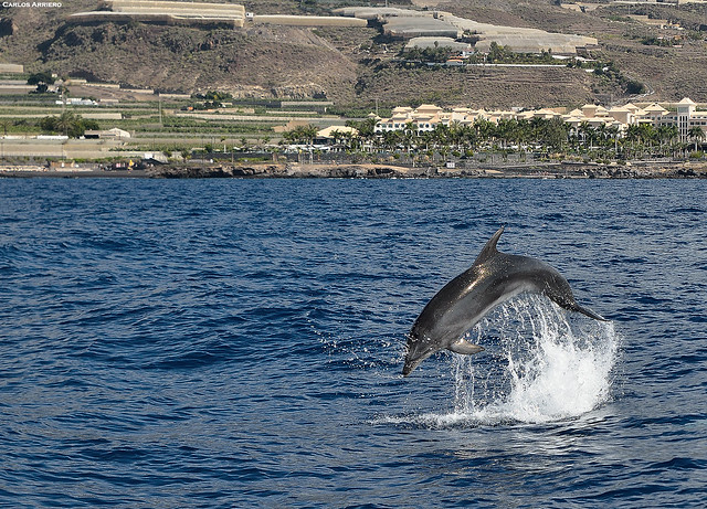 Dolphin jumping.