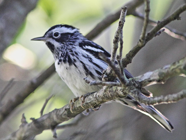 Black-and-White Warbler 09-20160414