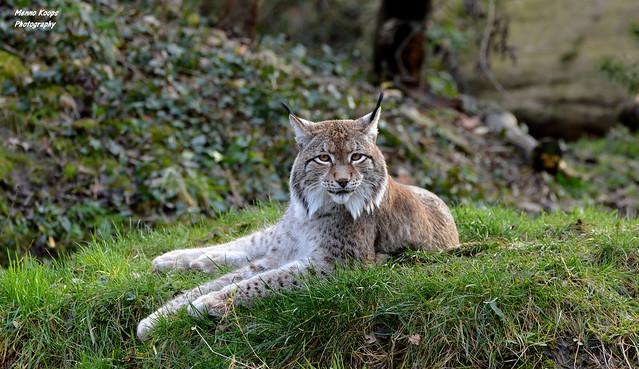 Eurasian Lynx - Zoom Gelsenkirchen