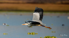 Grey Heron - Birds of Flight