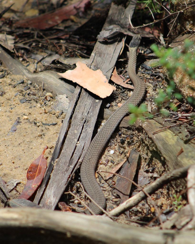 Mustard-bellied snake
