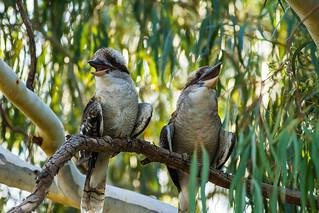 Kookaburras | by robwill4
