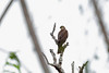 Collared Sparrowhawk, Mokwam, West Papua by Terathopius