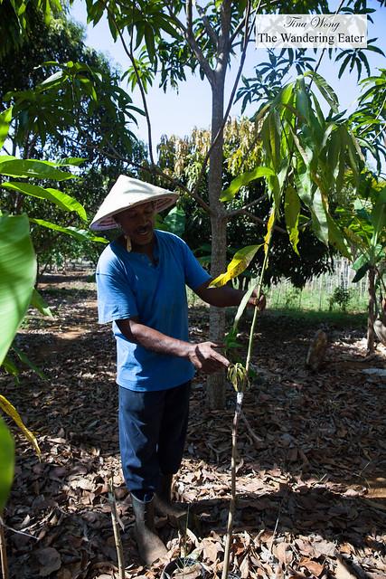 Grafted mango tree
