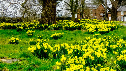 2016 03 23 Flaxton Daffodils   by Keith Laverack