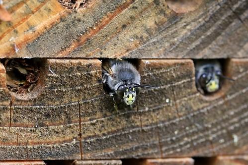 male Anthophora bees sleeping in emptied Megachilidae nests, Bollullos de la Mitacion, Sevilla ES