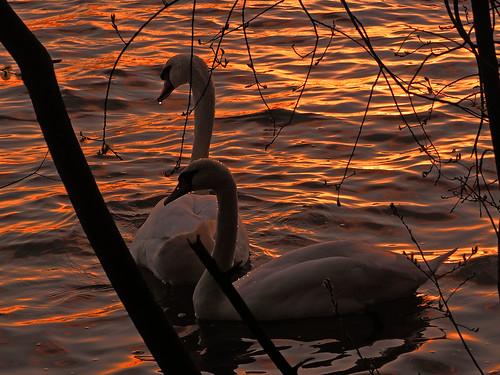 sunset en spring swan sonnenuntergang sich machen abendlicht goldenwater goldeneswasser swancoupleinsunset april2016frühling